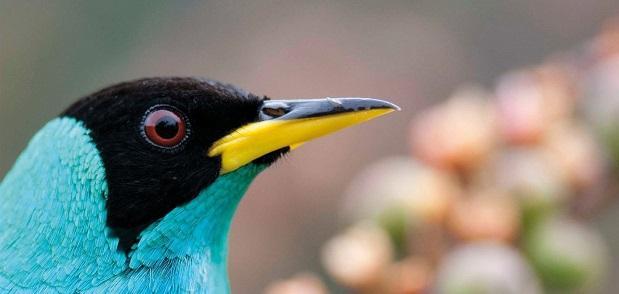 « Les oiseaux de Guyane : une histoire naturelle »
